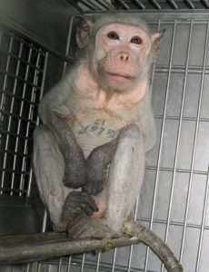 Animal Testing Covance Monkey in Cage