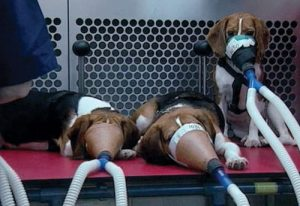 Beagles Animal Testing