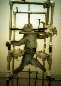 Restrained Monkey - Animal Testing